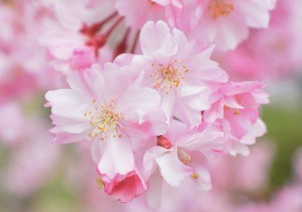 西宮市の桜の名所!ベストショットを撮ろう!